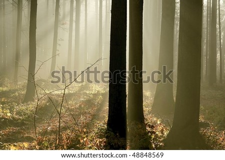 Sunbeams falls into the misty forest at the end of autumn. - stock photo