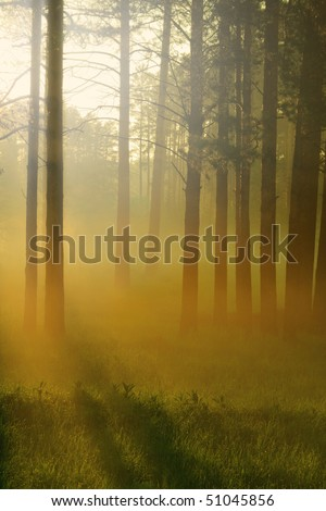 Sunbeams falls into the misty woods with majestic pine trees - stock photo