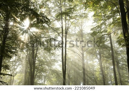 Sunbeams pass through the branches in the misty autumnal forest. - stock photo