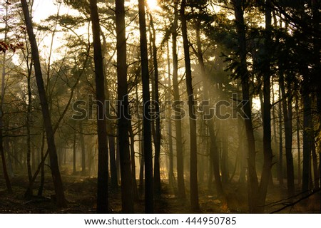 Sunbeams penetrating a tall forest in morning light with mist clinging to the ground in an atmospheric landscape