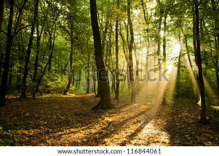 Sunbeams pour through trees in forest - stock photo