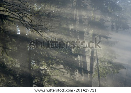 Sunbeams shining through a foggy forest of trees