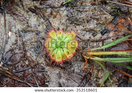 Sundew (Drosera burmannii Vahl), the  carnivorous plants on wet ground floor in Thung Non Son, the meadow area of National Park in Phitsanulok Province, Northern Thailand.