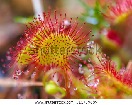Sundew (Drosera rotundifolia) lives on swamps and it fishes