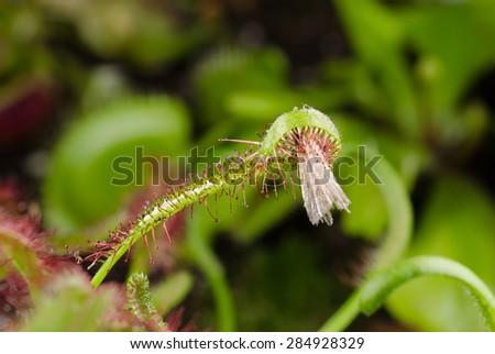 sundew fed with moth - stock photo