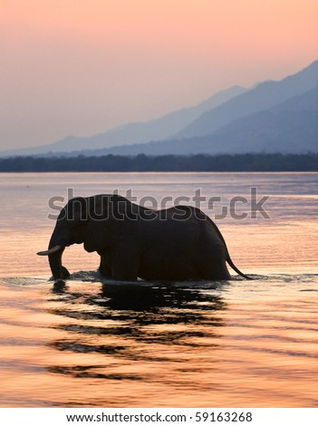 Sundown. Elephant on the river Zambezi. - stock photo