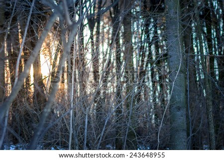 Sundown in winter forest. Thick impenetrable forest background - stock photo