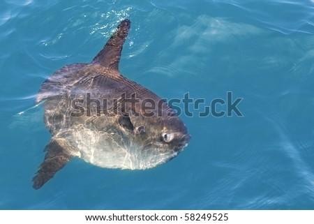 sunfish in real sea nature, mola mola luna sun saltwater fish - stock photo