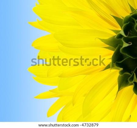 sunflower - stock photo