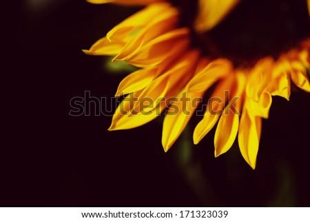 Sunflower against black background - stock photo