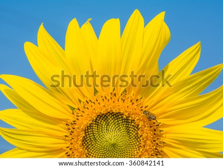 sunflower against blue sky background