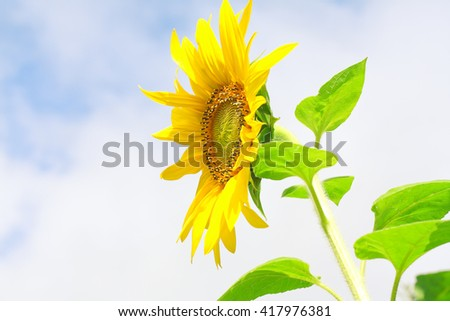 sunflower against blue sky closeup