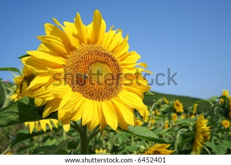 sunflower against blue sky with little honeybee - stock photo