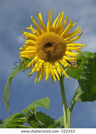 Sunflower against the blue sky - stock photo
