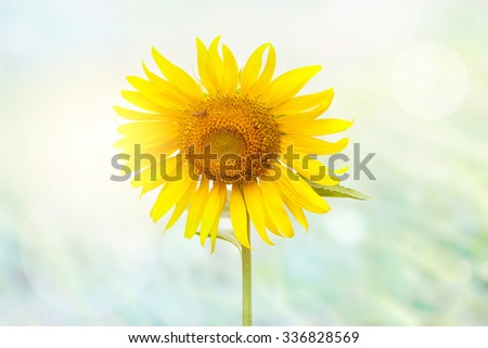 Sunflower and bee in the sunlight on grass background - stock photo