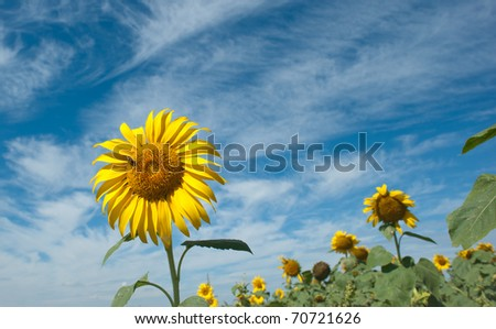 sunflower and bees - stock photo