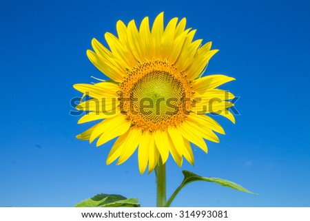 Sunflower and blue sky background - stock photo