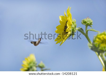 Sunflower and bud with hummingbird approaching to collect pollen/nectar - stock photo