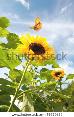 Sunflower and butterfly - stock photo