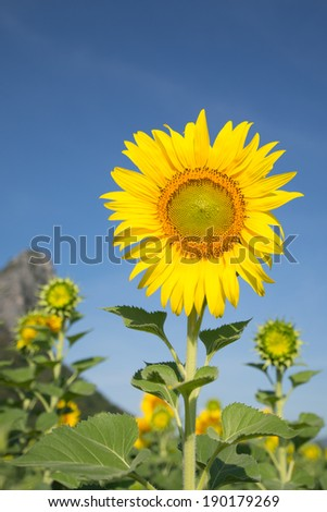 sunflower and hill - stock photo