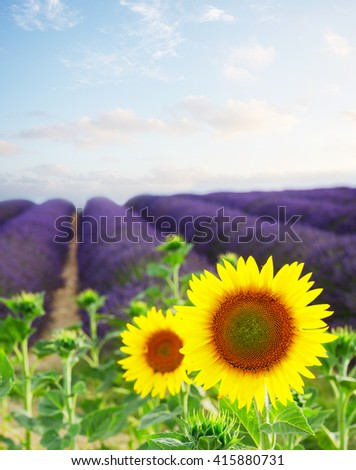 Sunflower and Lavender flowers field, Provence, France, toned - stock photo
