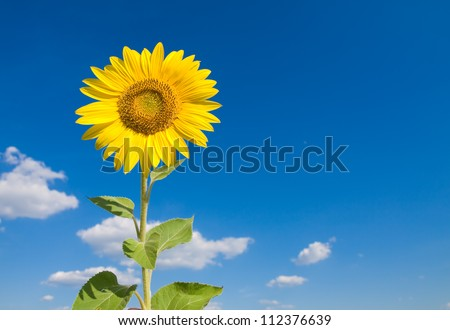 Sunflower and sky - stock photo