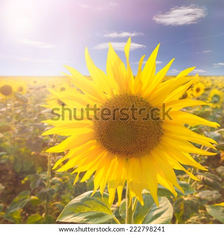 sunflower and sunlight in summer - stock photo