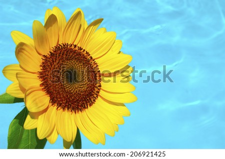 Sunflower And The Water
