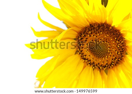 sunflower at white background close up