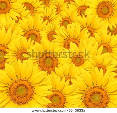 Sunflower background. - stock photo