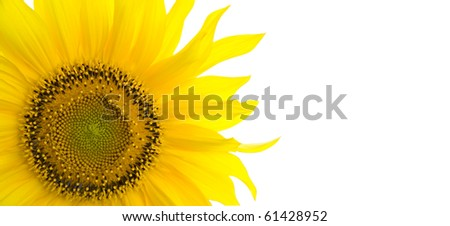 Sunflower background with place for your text - stock photo