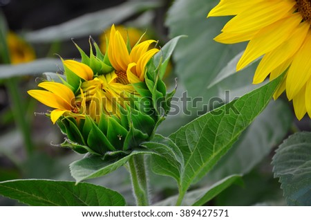 Sunflower blooms in the garden, close-up of the green bud - stock photo