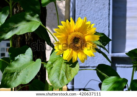sunflower blossom in a big city with sunshine - stock photo