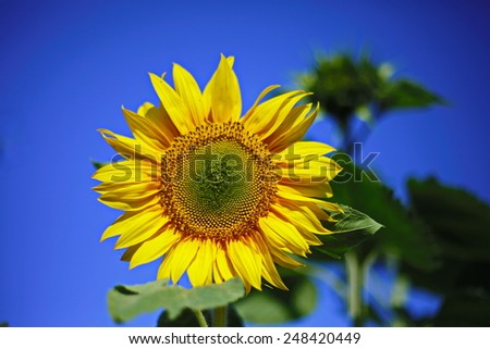 sunflower blue sky close-up yellow sunny joy flower - stock photo