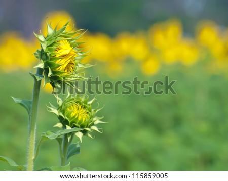 Sunflower bud against sunflower field on background - stock photo