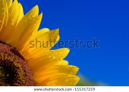 Sunflower close-up against dark blue sky - stock photo