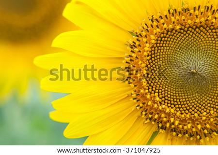 Sunflower close up. Bright yellow sunflowers. Sunflower background. - stock photo