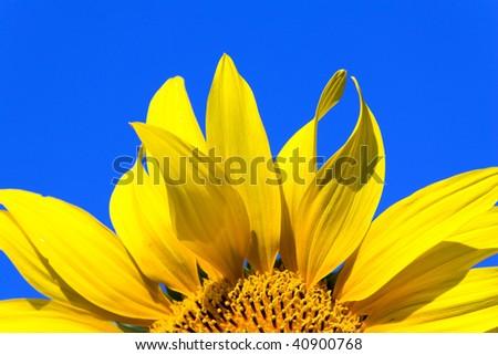 Sunflower close-up details - stock photo
