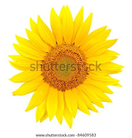 sunflower close up isolated on white background - stock photo