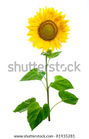Sunflower. Close-up. Isolated. Studio - stock photo