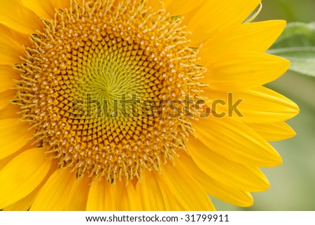 Sunflower close up shot