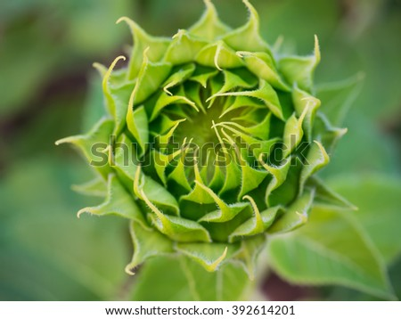 Sunflower close up.  Sunflower background. Before flowering sunflower.  - stock photo