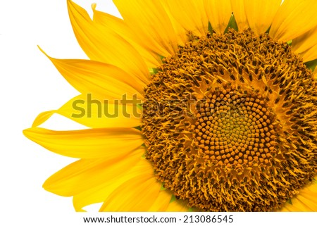 sunflower close up view on white background