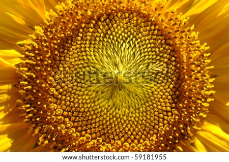 Sunflower Close Up with Vibrant Colors - stock photo