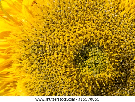 Sunflower close view