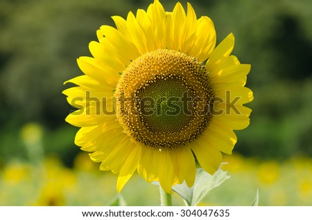 Sunflower closeup on a sunny morning with dew on the petals - stock photo