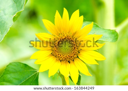 sunflower closeup on field - stock photo