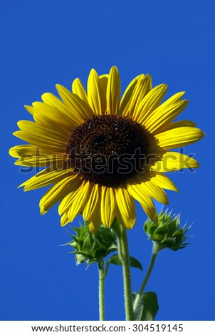 Sunflower closeup opposite blue sky as background - stock photo