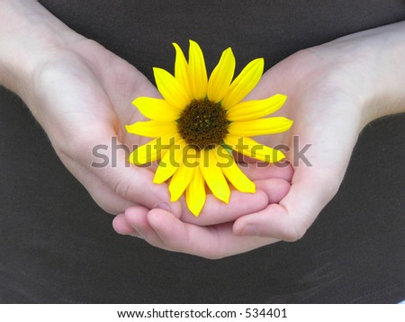 Sunflower cuddled in girls hands - stock photo