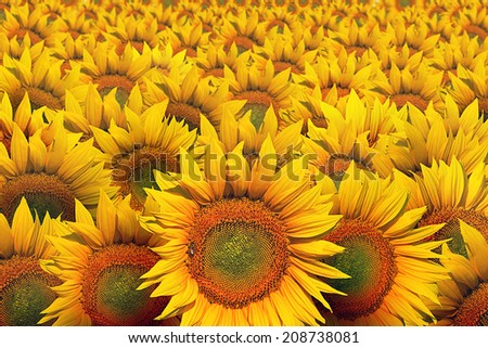Sunflower cultivated field as abstract agricultural background